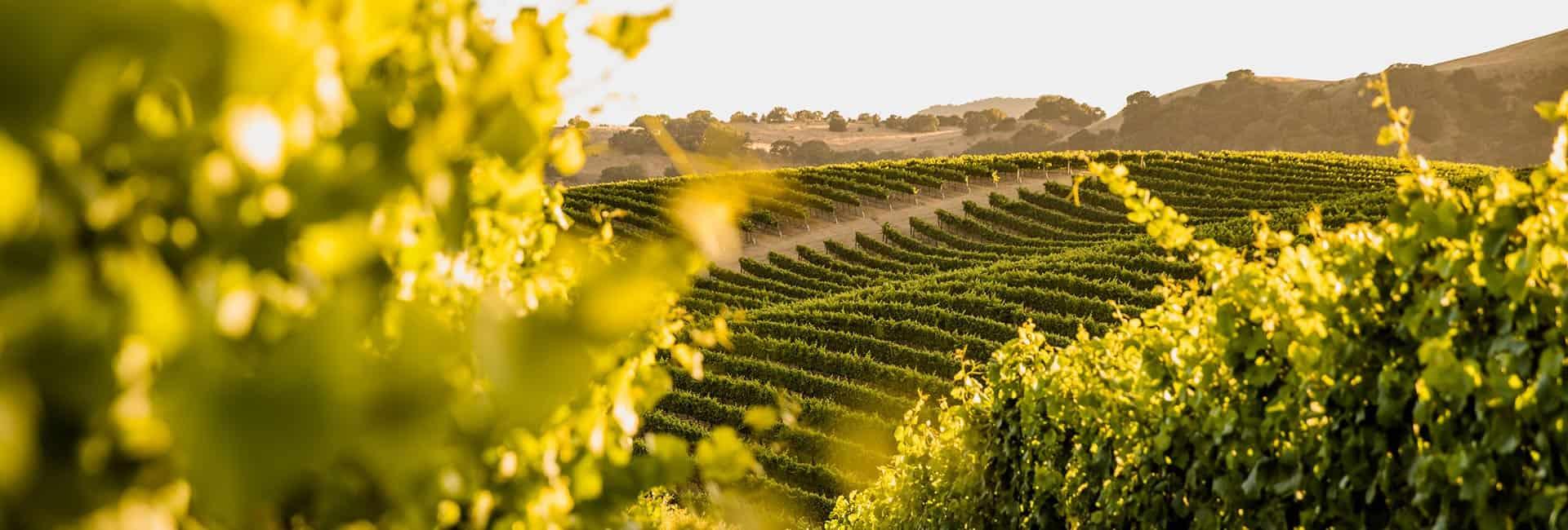 Vineyard View of Artesa Estate