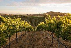 Artesa Estate Vineyard View from Pinot Noir Block